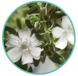 Serissa foetida bonsai flowers