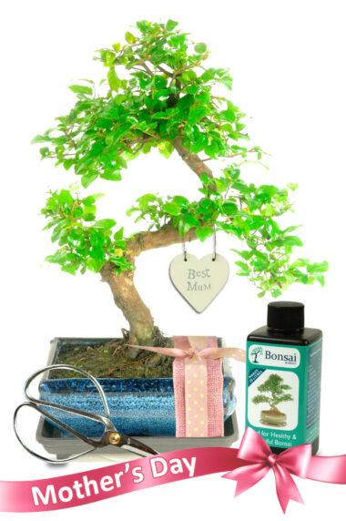 Beautiful Sweet Plum Stylish Mother's day Bonsai gift