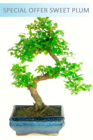 Special Offer Chinese Sweet Plum Indoor Bonsai