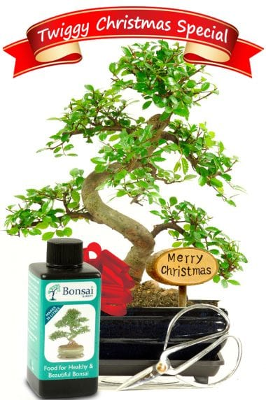 Special Offer Christmas Bonsai Kit