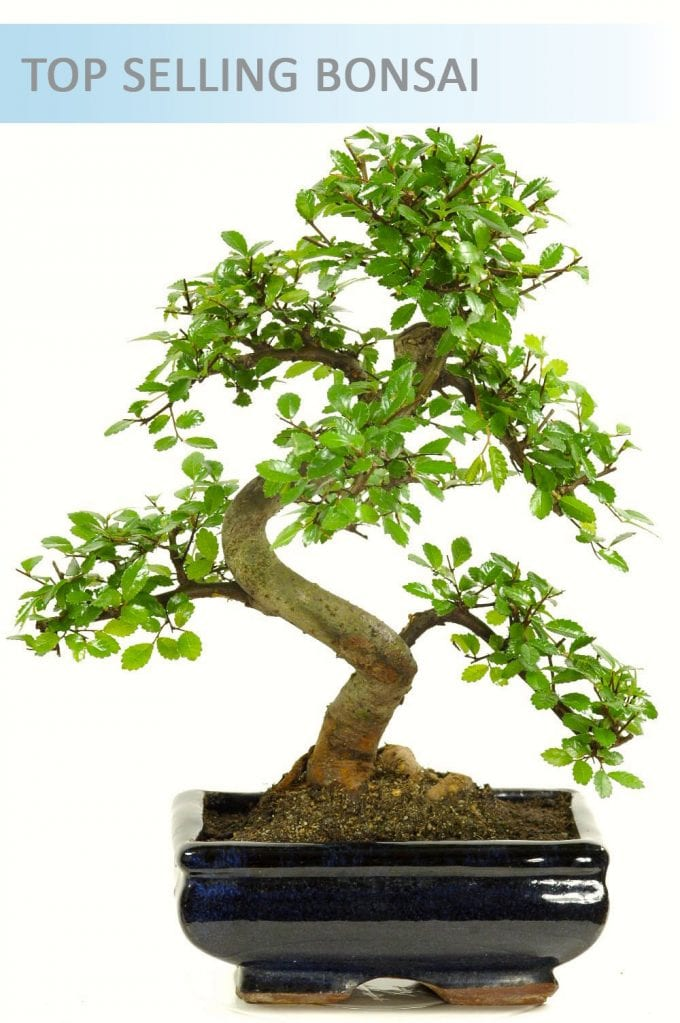 Special Offer Indoor Bonsai ~ Chinese Elm (IDCE7)