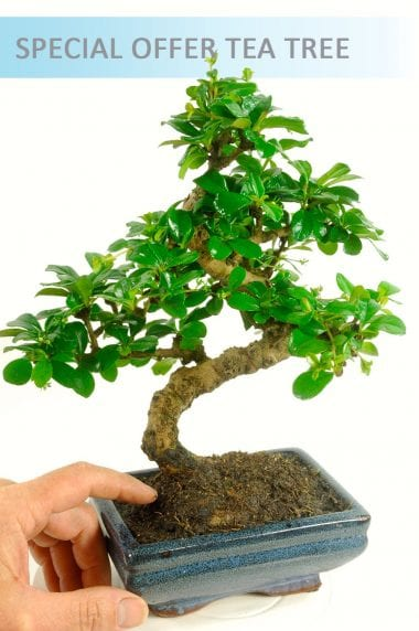 Special Offer Oriental Tea Tree (Carmona microphylla)