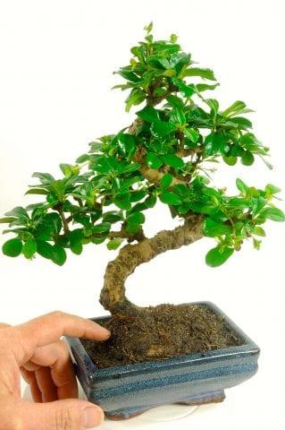 Special Offer Oriental Tea Tree (Carmona microphylla)