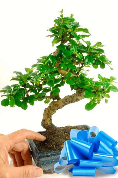 Special Offer Oriental Tea Tree (GCAR1)