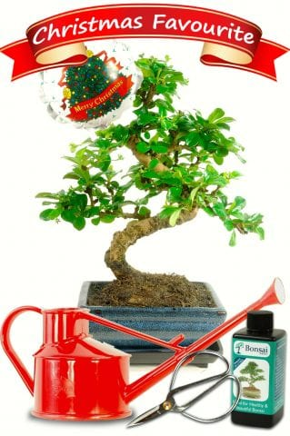 Stunning Christmas Bonsai Gift Set with Bonsai Watering Can