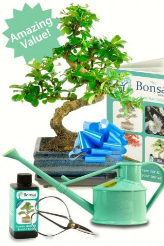 Outstanding Twisty Flowering Tea Tree Bonsai Kit - Choose your watering can!