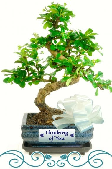 Thinking of you flowering bonsai gift
