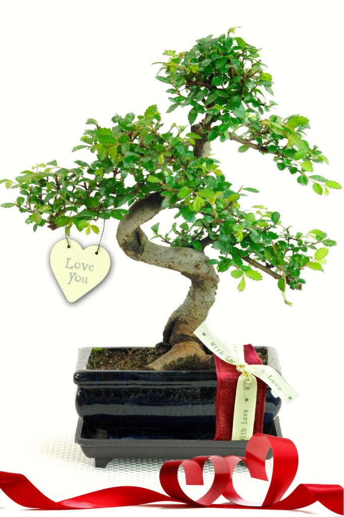 Twiggy Valentines Indoor Bonsai Tree Gift