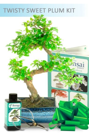 Twisty Sweet Plum Bonsai Kit in a Blue Pot