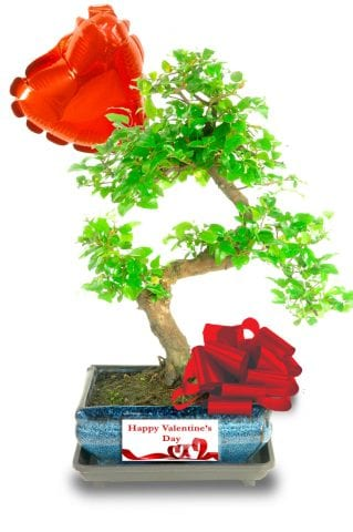 Sweet Plum S-Shaped Valentines bonsai for sale