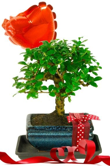 Valentines Flowering Bonsai Tree- Orchard Style