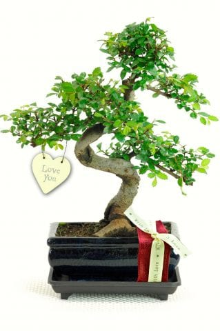 Chinese Elm Valentines day bonsai tree gift for sale