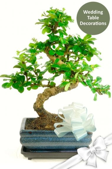 Wedding Table Centre Pieces - 10 bonsai supplied