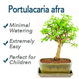 Jade easy Bonsai for Children
