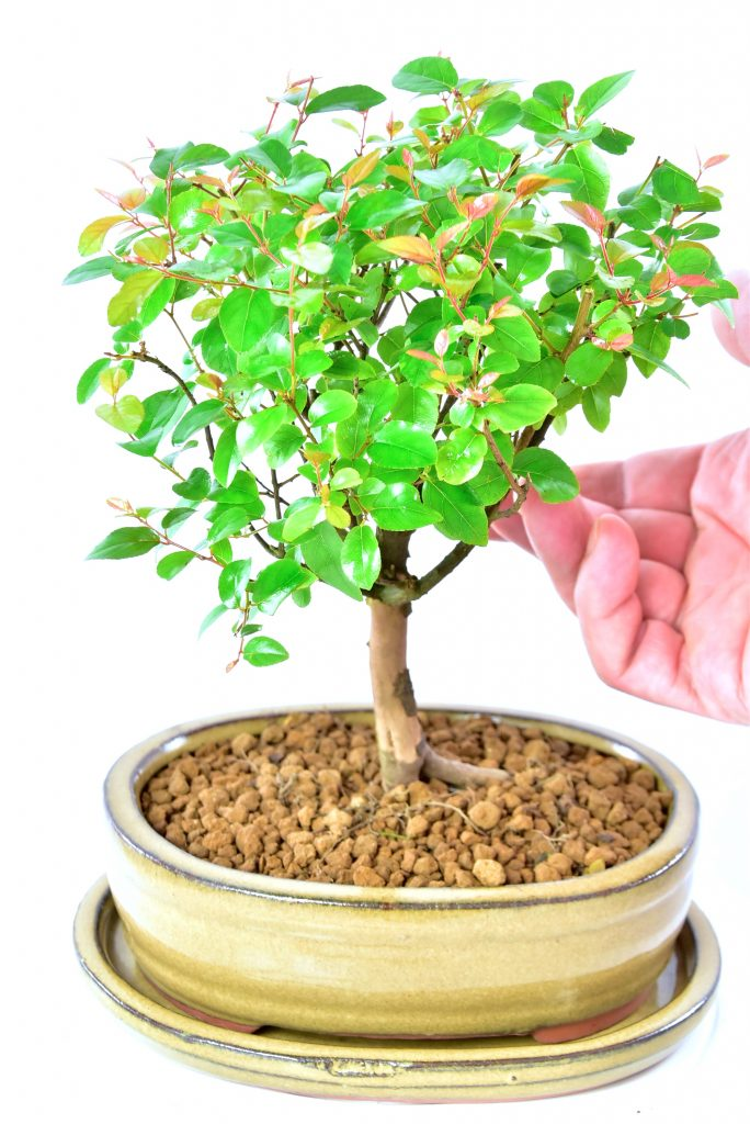 Stylish Orchard Sweet Plum Bonsai Tree