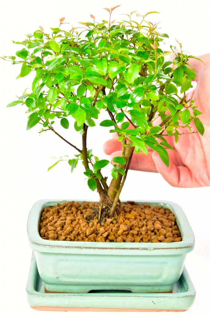 Percy the plum bonsai tree for sale