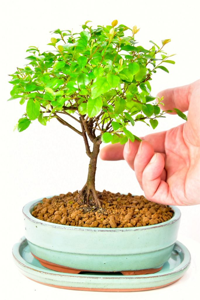 Baby bonsai in turquoise pot