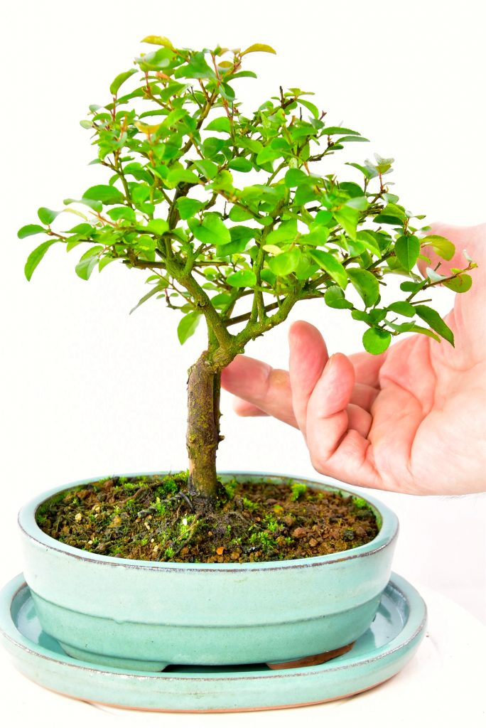 Highly refined baby indoor bonsai