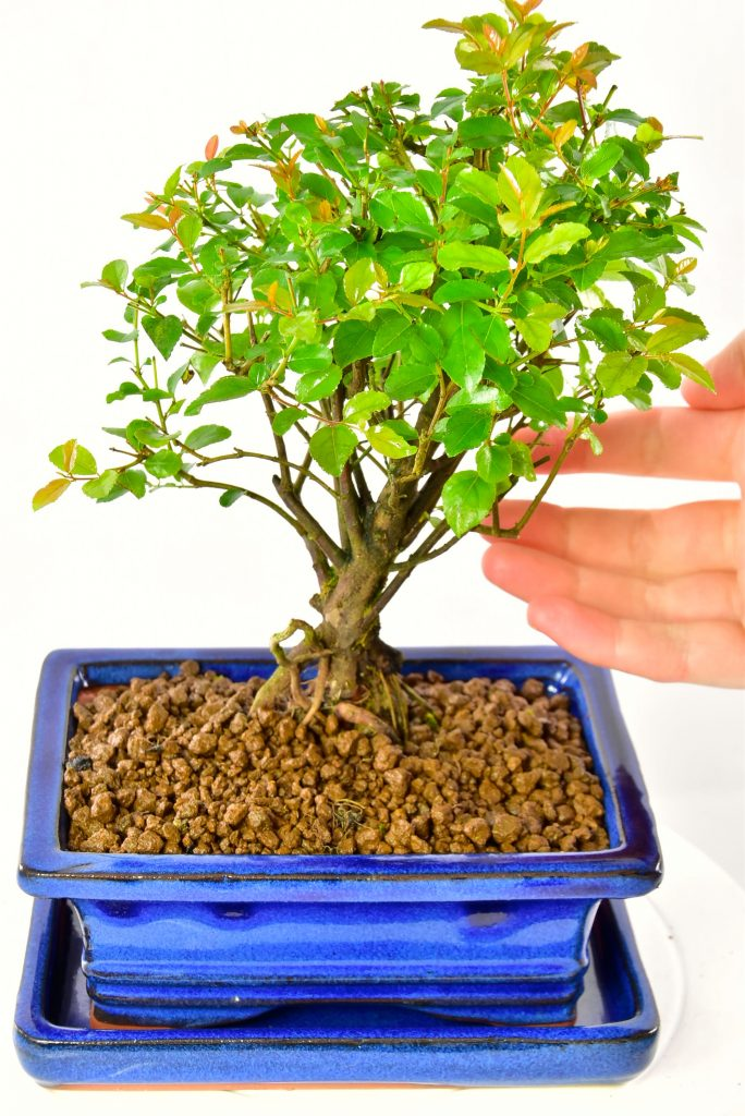Baby indoor bonsai in royal blue pot