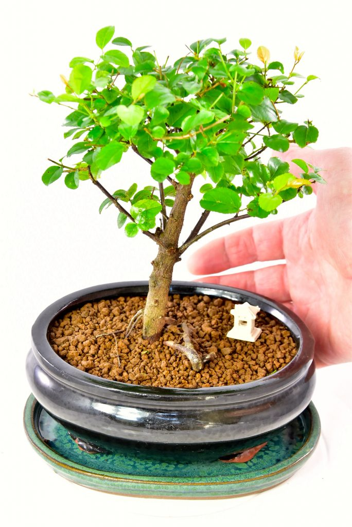 Little baby indoor bonsai tree for sale