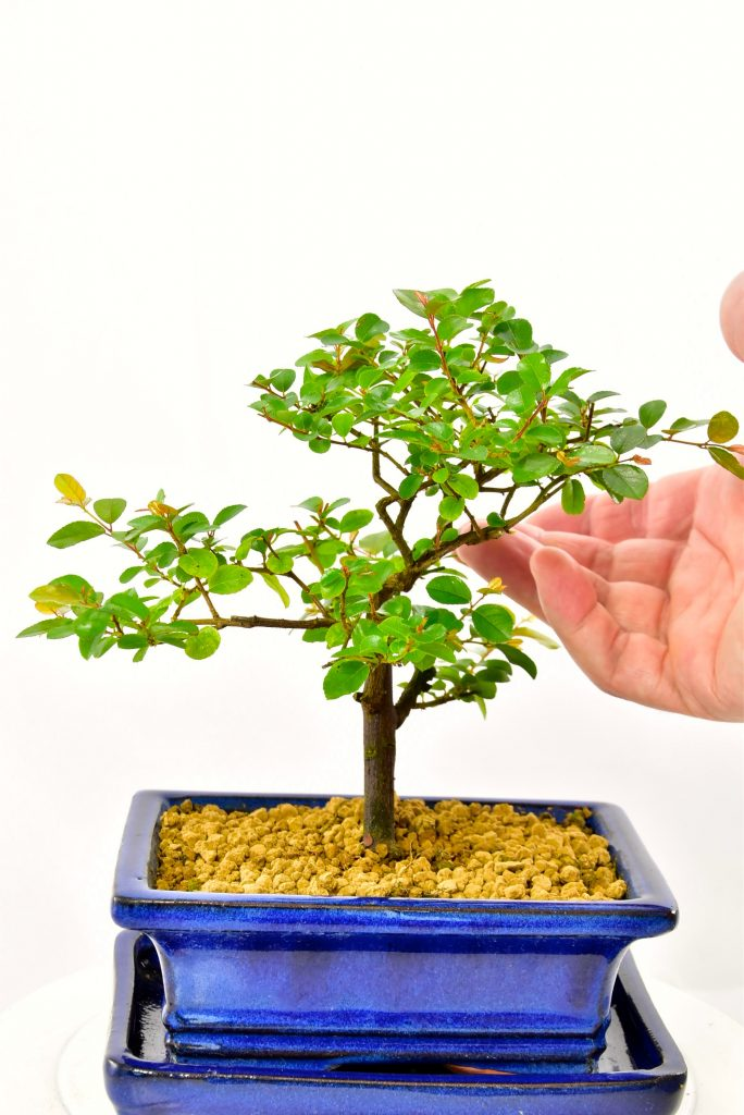 Beautiful Sageretia theezans bonsai in blue pot