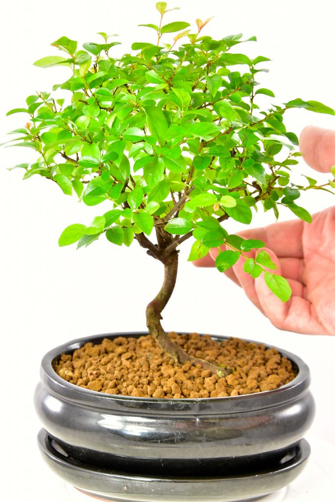 Cute Sweet Plum (sageretia) bonsai