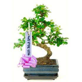 Pretty twisty bonsai gift for my wife
