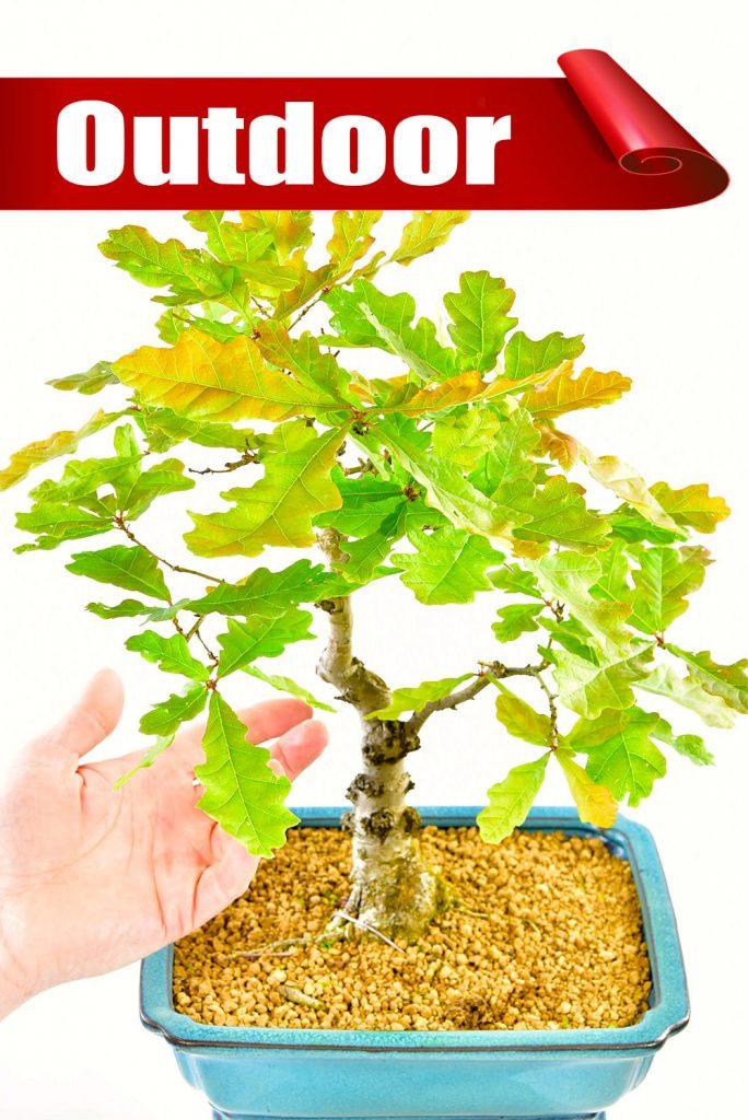 English Oak bonsai bargain