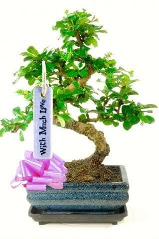 with much love bonsai tree gift