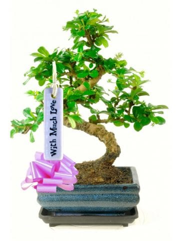 The perfect bonsai gift for someone you love
