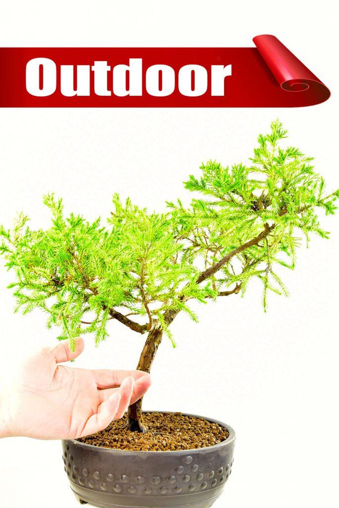 Chinese Juniper bonsai Bargain