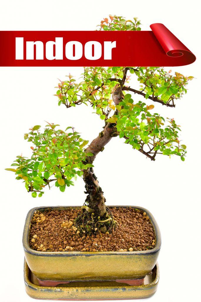 Majestic indoor bonsai tree offer