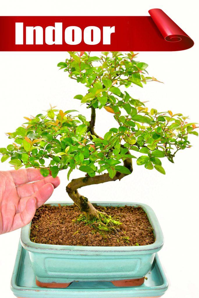 Premium range Sweet Plum Indoor Bonsai Offer