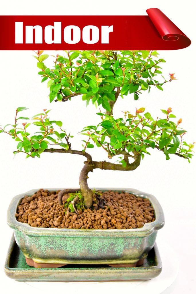Twisty Sweet Plum (Sageretia theezans) fruiting indoor bonsai offer