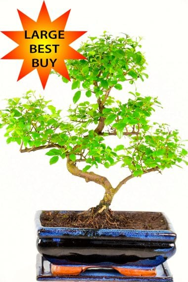 Beginners Larger Sized Sweet Plum Indoor Bonsai Tree