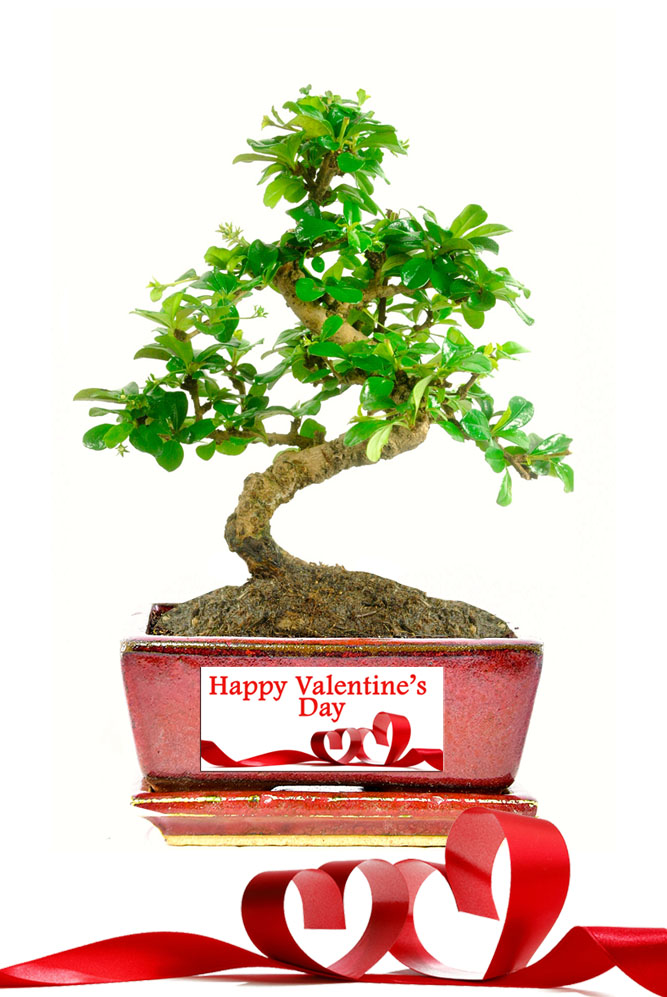 Special Offer Valentines Bonsai Gift