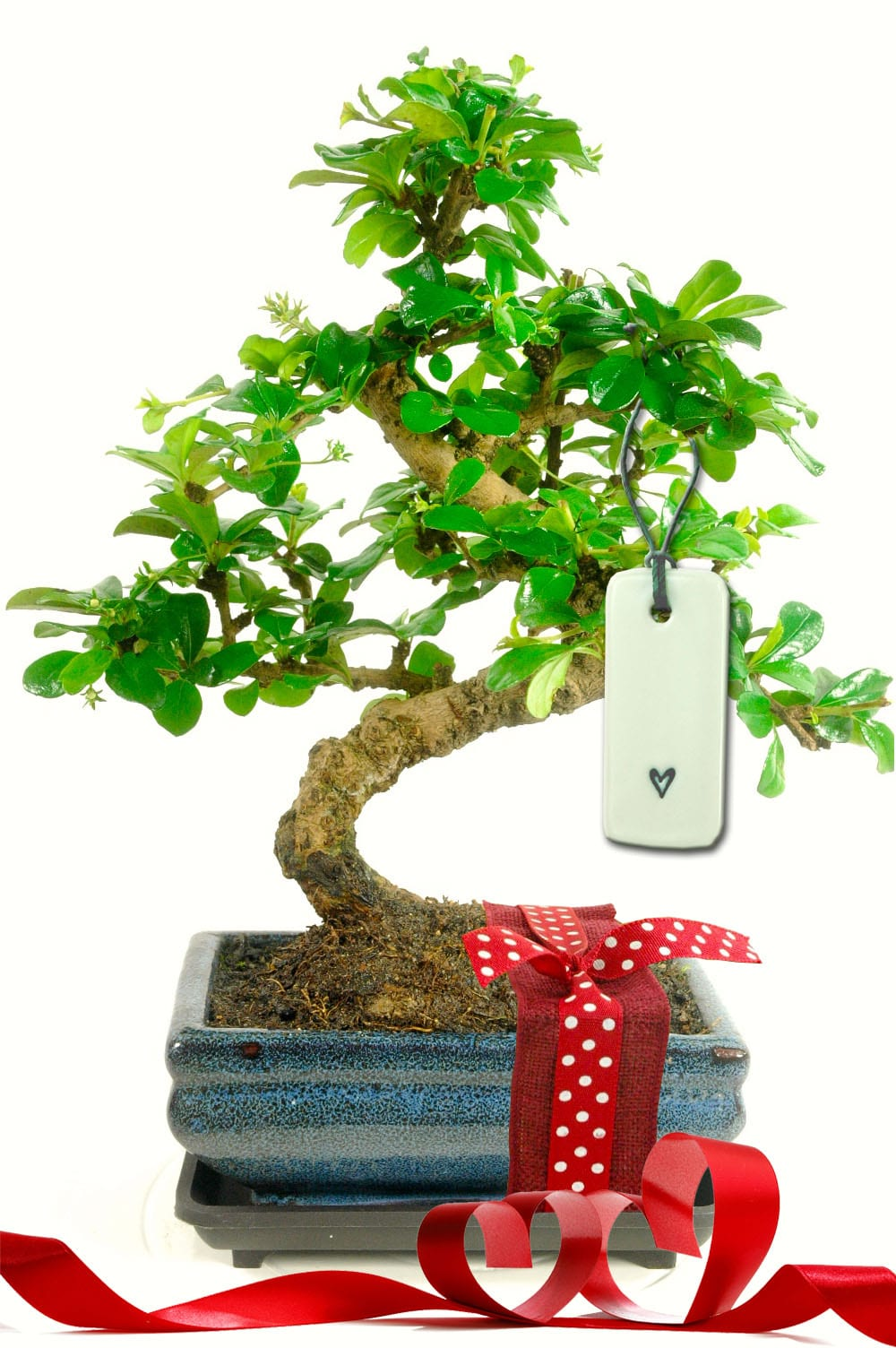Valentines bonsai gift with porcelain heart