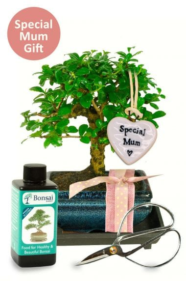 Special Mum baby bonsai kit for sale