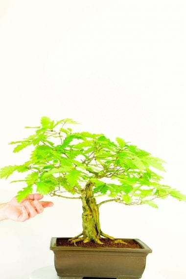 Oak bonsai (Quercus robur)