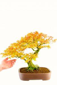 Katsura maple bonsai for sale