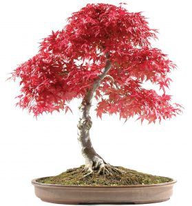 Acer palmatum deshojo bonsai