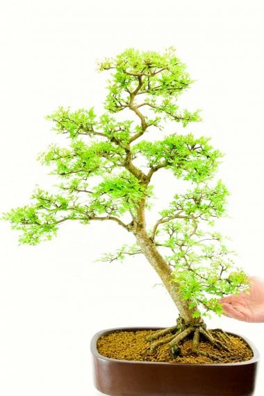 OD015 Hawthorn from Bonsai Direct
