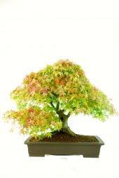 Japanese Maple with orange leaves