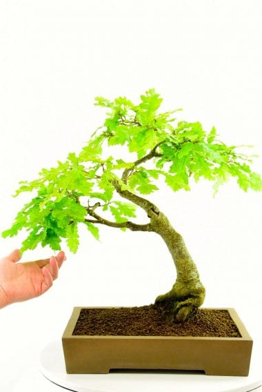 Turkey Oak bonsai