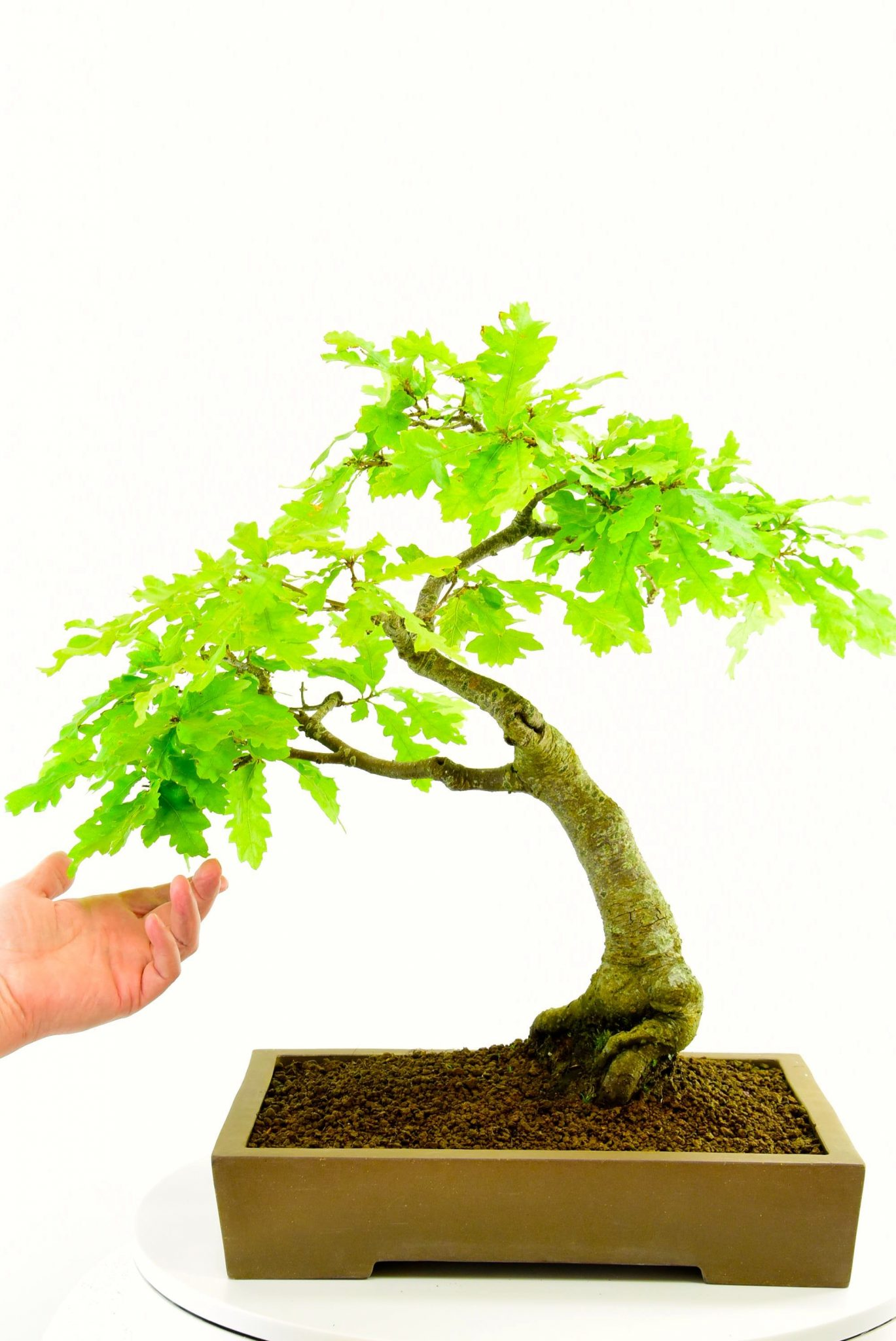 25 Year Old Oak Bonsai Quercus Ferris For Sale In Traditional Pot