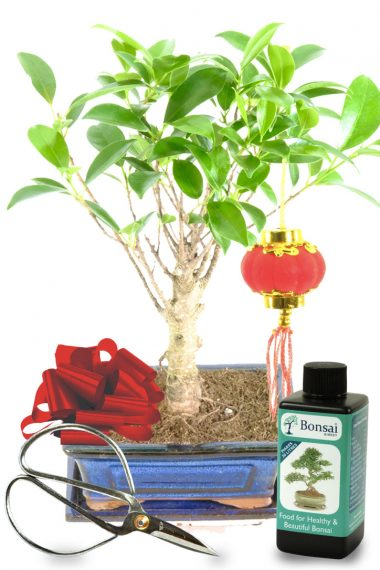 Easy care Chinese New Year Ficus bonsai tree for sale