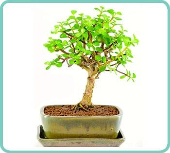 Jade Tree Indoor Bonsai Requires Minimal Watering Bonsai Trees For Sale Uk