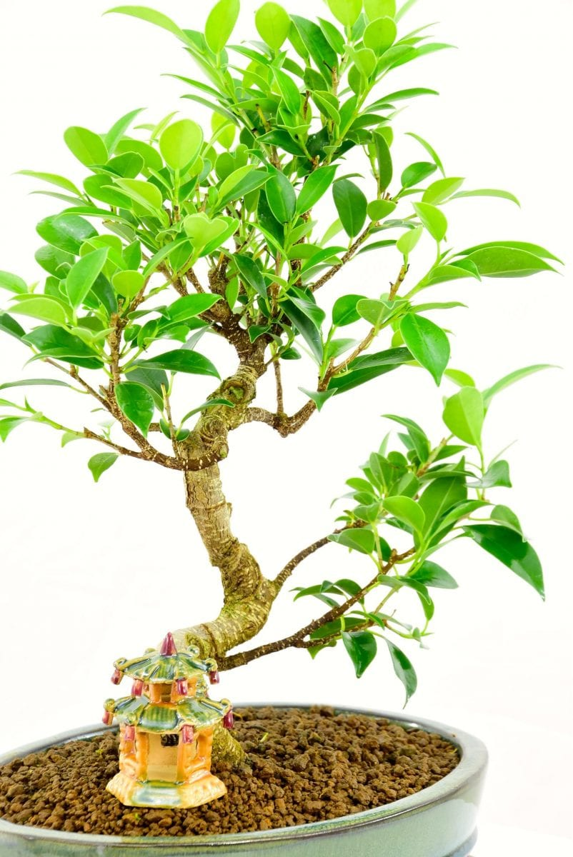 Ficus retupa very easy indoor bonsai