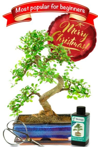Highly recommended mid-sized Christmas starter bonsai kit with Merry Christmas balloon
