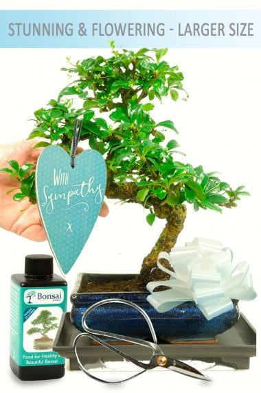 Beautiful sympathy bonsai gift for sale